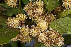 Laurus nobilis MHNT Fleurs.jpg