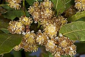 Laurales - Laurus nobilis flowers and leaves