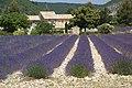 Lavendel in Südfrankreich - lavender fields (17997792473).jpg