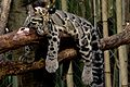 Lazy Clouded Leopard NashvilleZoo.jpg