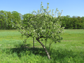 Leaning apple tree.png