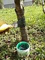 Leimring Obstbaum.JPG