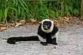 Lemur (36500013203).jpg