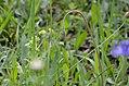 Leontodon hispidus Knospe.jpg