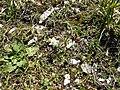 Leontopodium alpinum Pyrenees1.jpg