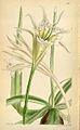 Leptochiton quitoensis 6397 Ismene tenuifolia.jpg