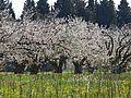 Les cerisiers aux abords du Village.jpg