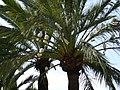 Les colombes dans les palmiers de elche - panoramio.jpg