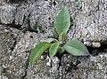Lesser-leaved Hawkweed Hieracium angustatum (6301905832).jpg