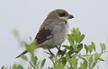 Lesser Grey Shrike, Lanius minor - juvenile - at Kruger Park (13900182284).jpg