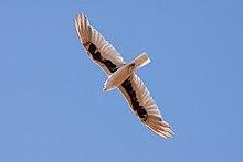 la face inférieure d'une lettre à ailes kite