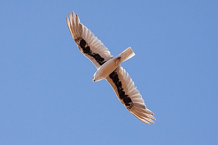 A letter-winged kite in flight, Birdsville Track, South Australia. The underwing markings are visible. Letter-winged Kite (Elanus scriptus)3.jpg