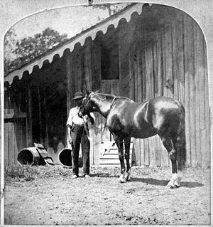 Lexington (horse) - Lexington photographed in a stable.