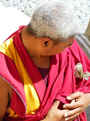 Sentient beings (Buddhism) - Buddhist monk protecting injured sparrow. Likir Monastery, Ladakh, India
