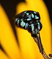 Lil Blue Bee (2300086748).jpg