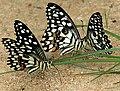 Lime Butterfly (Papilio demoleus) mud-puddling W2 IMG 0286.jpg