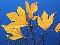 Lindera triloba (autumn leaf color s2).jpg