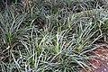 Liriope muscari 2zz.jpg