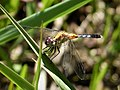 Little Blue Dragonlet Maturing male. Erythrodiplax minuscula (37723675044).jpg