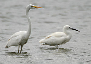 Ardea (genus) - The great egret (Ardea alba, left) resembles the other Ardea in habitus, and the little egret (Egretta garzetta, right) only in color.