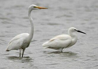 Ardea (genus) - The great egret (Ardea alba, left) resembles the other Ardea in habitus, and the little egret (Egretta garzetta, right) only in color.