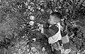Little boy picking oranges in a farm in Shinchiku.jpg