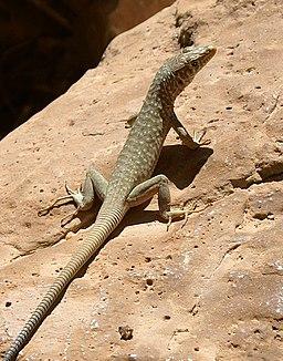 Lizard-Oman
