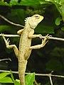 Lizard from Madayipara DSCN2657.jpg