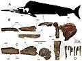 Loancorhynchus catrillancai.jpg