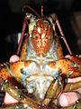 Lobster 13.jpg