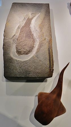 Loganellia scotica fossil and model.jpg