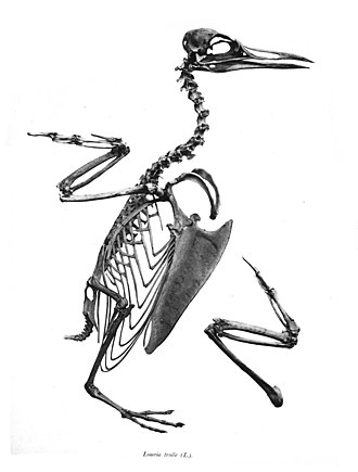 Common murre - Skeleton