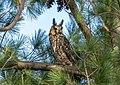 Long-eared owl in Central Park (50208).jpg