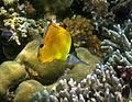 Longnose butterfly fish.jpg