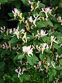 Lonicera sp. blooming 04.JPG