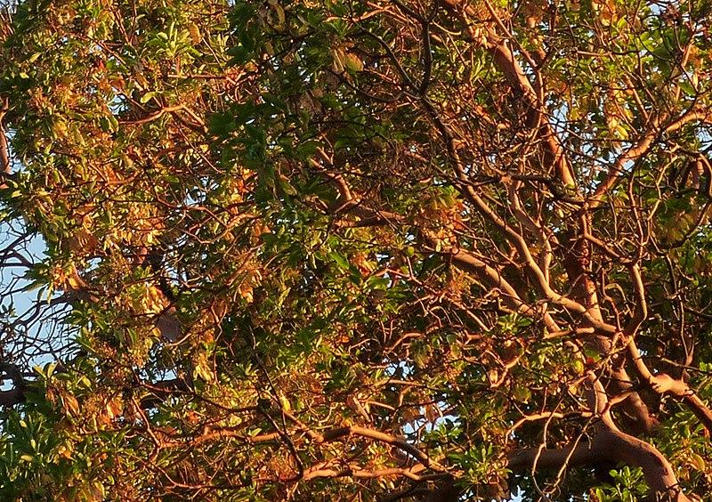 File:Looking up into the Arbutus trees - panoramio.jpg