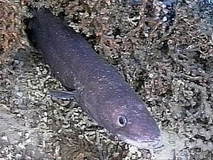 Lophelia - A conger eel which has set up home in a Lophelia bed