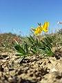 Lotus tenuis sl20.jpg