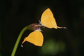 Loxura atymnus-Kadavoor-2018-06-18-001.jpg