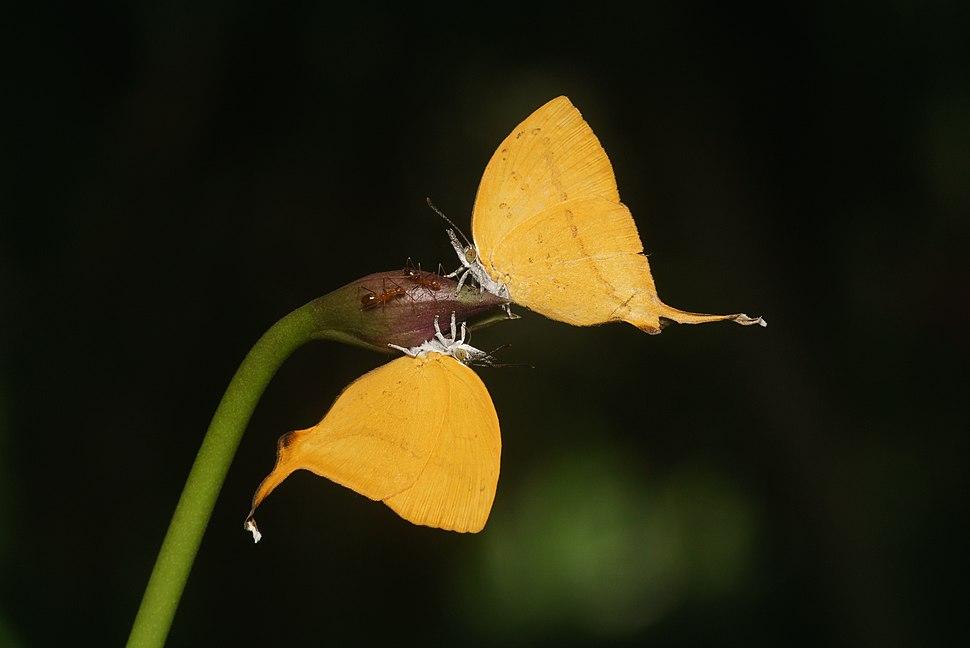 Loxura atymnus-Kadavoor-2018-06-18-001