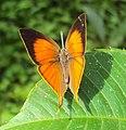 Loxura atymnus - Yamfly 07.JPG
