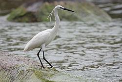 Aigrette garzette, au Lac Victoria. On distingue bien les plumes sur la tête, qui lui ont valu son nom.