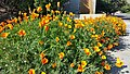 Lusk & Vista Sorrento Parkway Golden Poppies 4.jpg