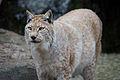 Lynx lynx - 02.jpg