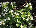 Lysimachia mauritiana s2.jpg