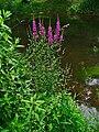 Lythrum salicaria 001.JPG