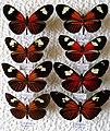 Müllerian mimicry (31812043290).jpg
