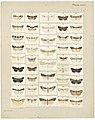 MA I437621 TePapa Plate-XXII-The-butterflies full.jpg