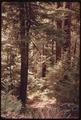 MIXED STAND OF DOUGLAS FIR AND HEMLOCK TREES AROUND SPIDER LAKE, OLYMPIC NATIONAL TIMBERLAND, WASHINGTON. NEAR... - NARA - 555120.tif