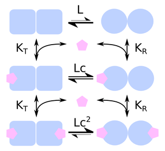 Cooperative binding - Figure 3: Reaction scheme of a Monod-Wyman-Changeux model of a protein made up of two protomers. The protomer can exist under two states, each with a different affinity for the ligand. L is the ratio of states in the absence of ligand, c is the ratio of affinities.